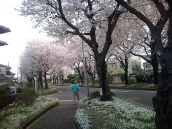 国分寺台の桜