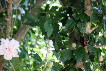 カブトムシの木