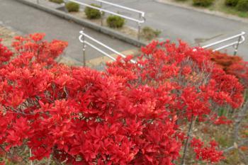 ツツジの紅葉