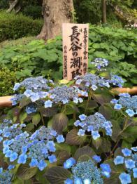 20160626-紫陽花2