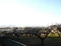 丹沢の山を望む梅林