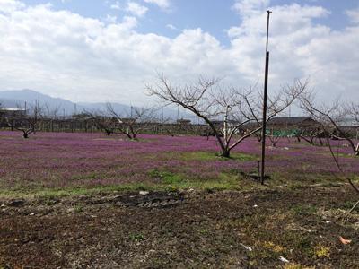 桃畑の風景
