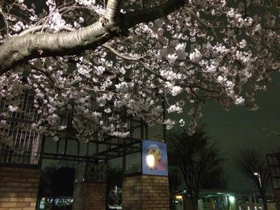 20160403 綾瀬市役所玄関前のサクラ