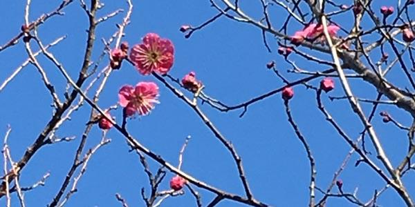 1月2日 梅が咲いてる