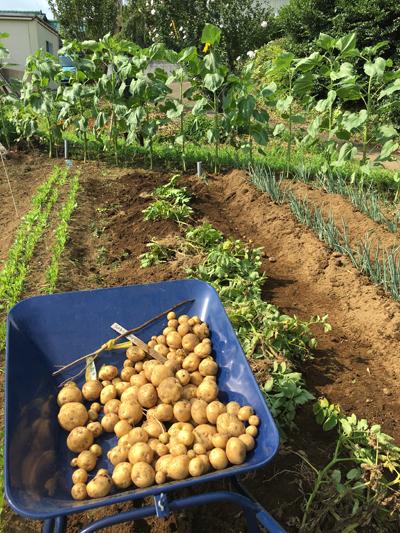 ジャガイモ収穫 7月6日「きたあかり」